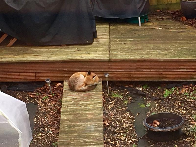 There's a fox sleeping in the back garden, curled up like a Firefox logo.